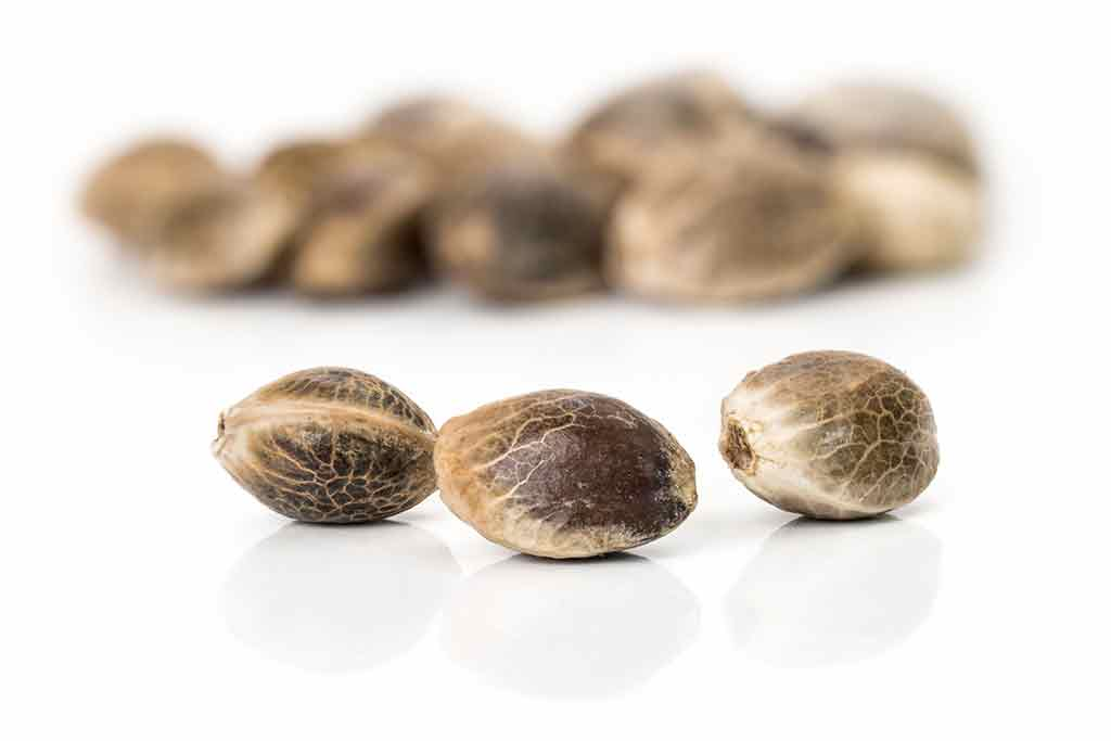 Cannabis Marijuana seeds close up