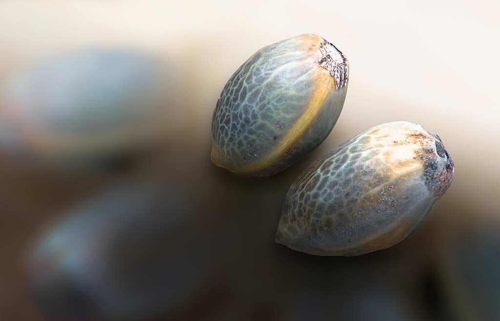 Cannabis Seeds close-up